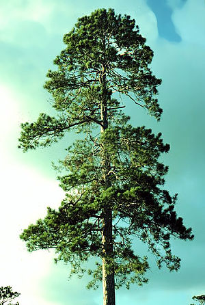 Pinus resinosa - Image: Pinus resinosa 1