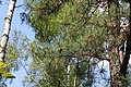 Pinus rigida foliage Drewnica.jpg