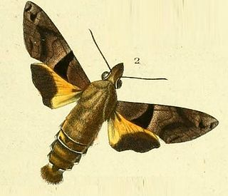 <i>Macroglossum heliophila</i> species of insect