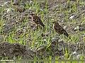 Plain Mountain Finch (Leucosticte nemoricola) (27071264992).jpg