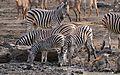 Plains Zebras (Equus quagga burchellii) and Warthogs at waterhole ... (33104634386).jpg