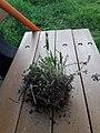 Plant wild wheat unknown grass 2020 01.jpg