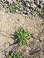 Plantago lanceolata 146408246.jpg