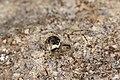Platnickina tincta (26753644366).jpg