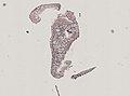 Pleioplana atomata (YPM IZ 073814) 77.jpeg