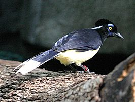 Plush-crested Jay.jpg