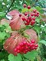 Pochayiv red viburnum червона калина (26432560190).jpg