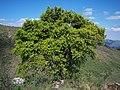 Podocarpus Parlatorei.jpg