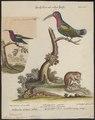 Polytmus jugularis - 1700-1880 - Print - Iconographia Zoologica - Special Collections University of Amsterdam - UBA01 IZ19100135.tif