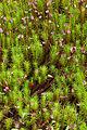 PolytrichumSpec2.jpg