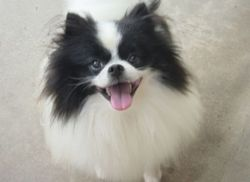 A black and white Pomeranian.