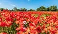 Poppy Field Schoenberg msu 2018 -7381.jpg