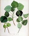 Populus tremula — Flora Batava — Volume v14.jpg