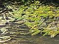 Potamogeton nodosus sl20.jpg