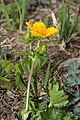 Potentilla flabellifolia 5966.JPG