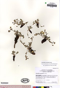 240px potentilla morefieldii jeps109917 (4498243667)
