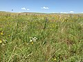 Prairie Flowers July 2015 in South Central South Dakota (19502586744).jpg