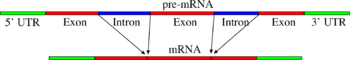 Simple illustration of exons and introns in pre-mRNA and the formation of mature mRNA by splicing. The UTRs are non-coding parts of exons at the ends of the mRNA.