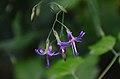 Prenanthes purpurea (8403750318).jpg