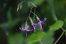 Prenanthes purpurea (8403750318).jpg