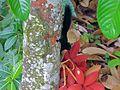 Prevost's Squirrel (Callosciurus prevostii pluto) (8082773111).jpg