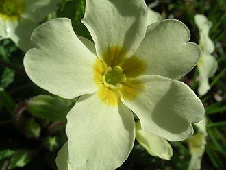 Primula vulgaris - Image: Primrose thrum