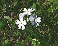Primula farinosa ENBLA05.jpg