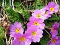 Primula vulgaris 0681596.JPG
