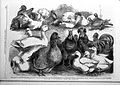 Prize birds at the Birmingham Poultry Show. Wellcome L0028495.jpg