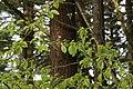 Prunus cerasus 2704.JPG