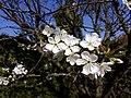 Prunus cerasus april2020.jpg