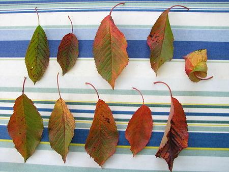 Prunus cerasus sick 05.jpg