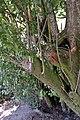Prunus domestica var. syriaca water sprouts.jpg