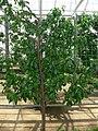 Prunus persica var nucipersica lafayette 1.jpg