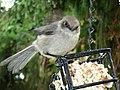 Psaltriparus minimus feeder1.jpg