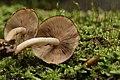 Psathyrella piluliformis (44473651824).jpg