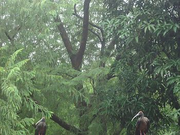 Pseudibis papillosa pair in a now-deforested forest in Ahmedabad, India.jpg