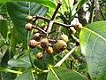 Psychotria hawaiiensis var. hillebrandii (5516730054).jpg