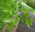Pteroceltis tatarinowii - Morris Arboretum - DSC00344.JPG