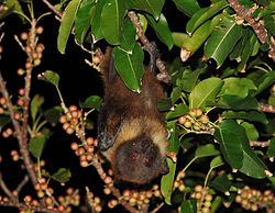 Une roussette des Ryukyu, la nuit, dans un arbre, sur l'île de Komaha