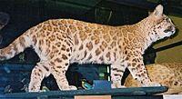 Pumapard, Rothschild Museum, Tring
