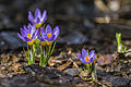 Purple Crocuses (16861651172).jpg