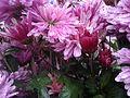 Purple chrysanthemums.jpg
