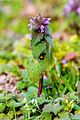 Purple deadnettle (25025585924).jpg