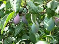 Purple plum tree.JPG