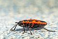 Pyrrhocoris apterus macro.jpg