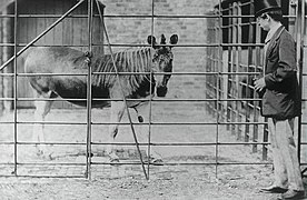 Quagga London Zoo.jpg