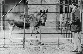 Quagga - The London mare with keeper, 1864