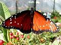 Queen Butterfly.jpg