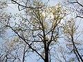 Quercus petraea port.jpg